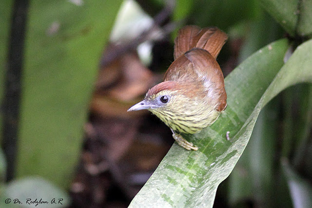 Pin-striped Tit Babbler (Macronous gularis)