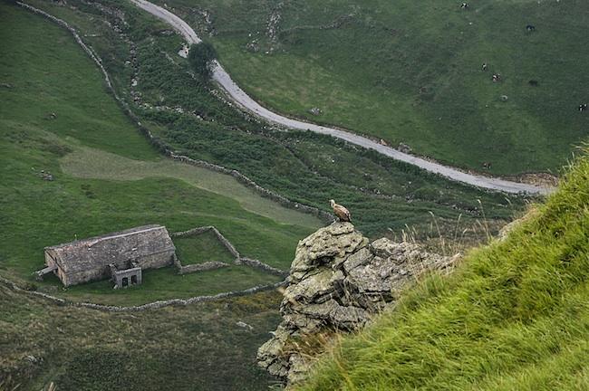 Un buitre posado en un saliente y debajo un valle verde con vacas y edificaciones ganaderas