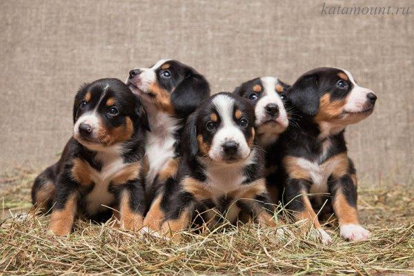Предлагаются к продаже щенки Энтлебухера Зенненхунда