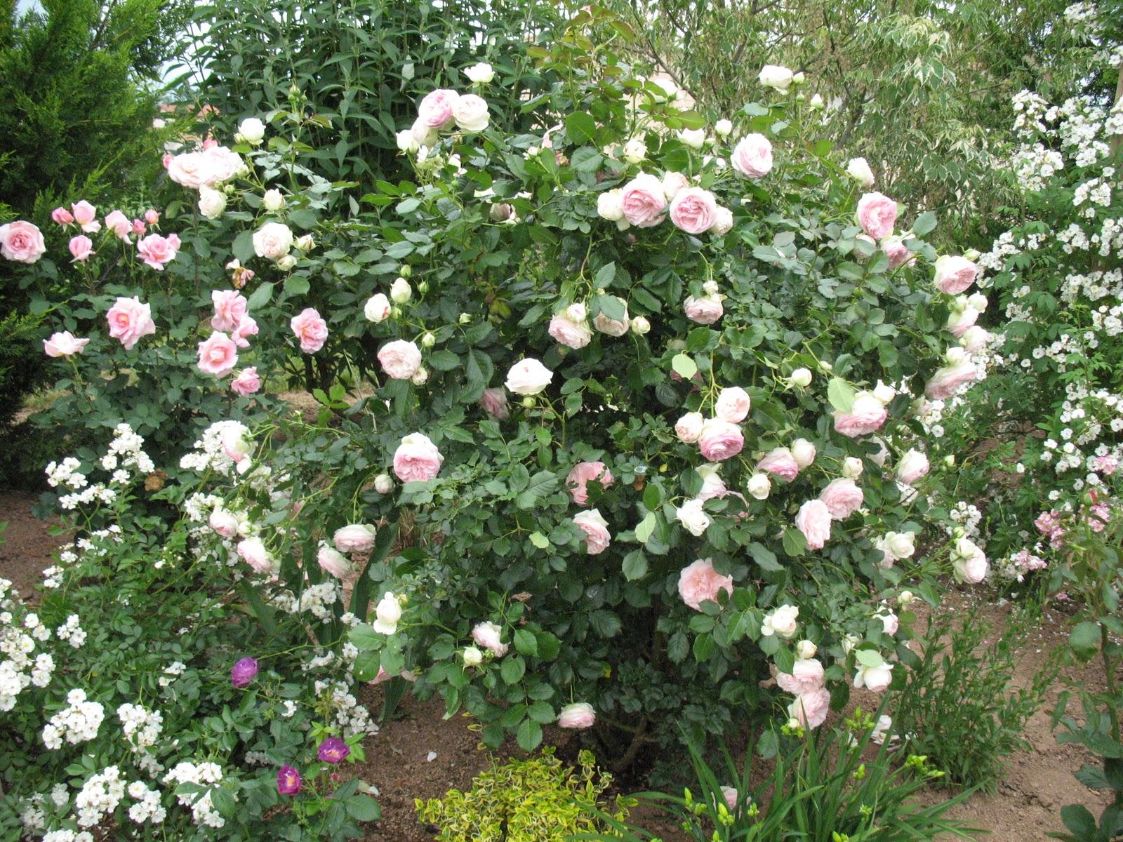 Roses du jardin ch neland taille des rosiers - Taille rosier grimpant ...