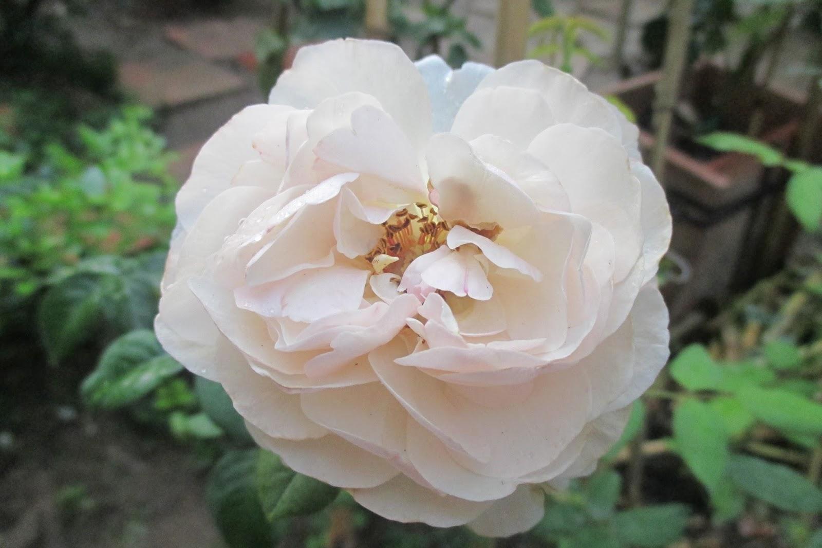 Những bông hoa ban đầu form hoa chưa được tròn trịa, cánh hoa chưa sắp xếp theo thứ tự. và số lượng cánh hoa cũng tương đối ít
