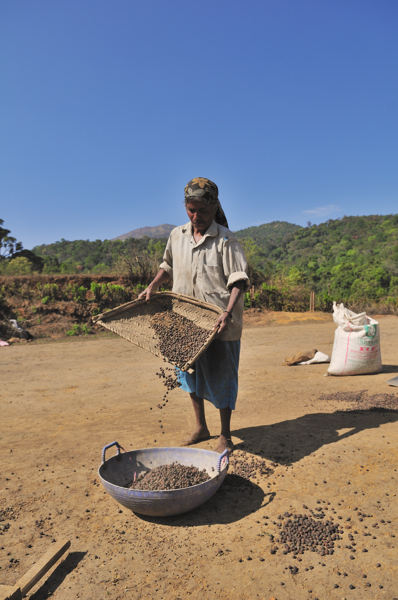Coorg_coffee_drying1