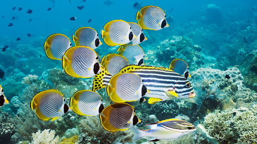 Eyepatch Butterflyfish, Bali, Indonesia.jpg