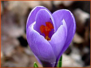 _lavender crocus bites fly