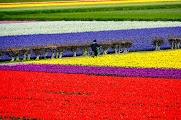 Цветочные поля близ Keukenhof