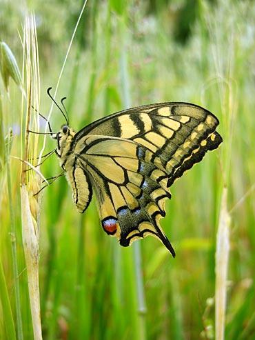 Mariposa de perfil