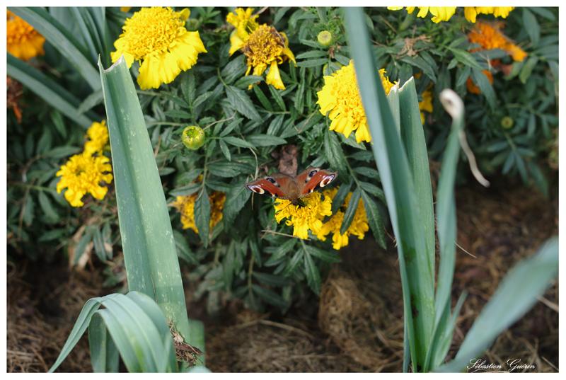 Papillon au 35mm SEBY4702