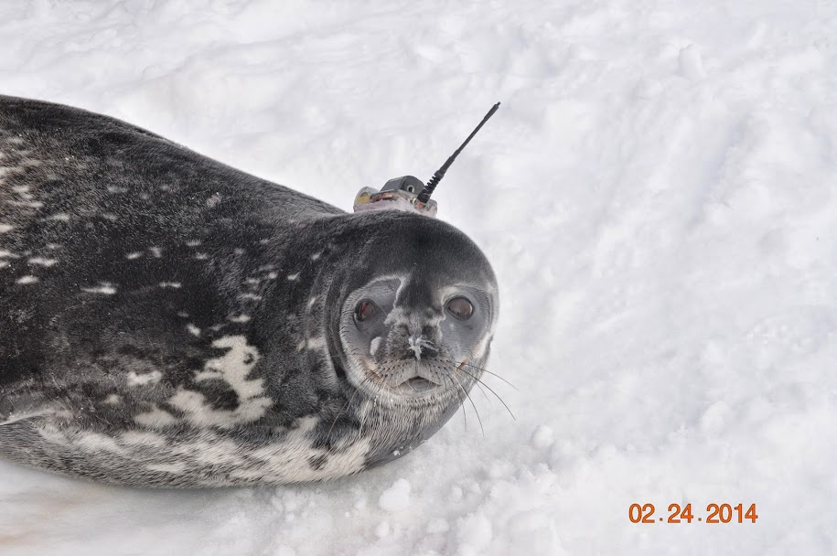Weddell Seal with newly acquired seal tag.