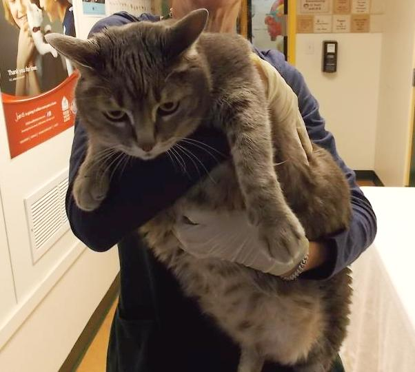 a volunteer at the shelter holding up an immense grey cat, so big that it's difficult to get her arm around the cat's middle