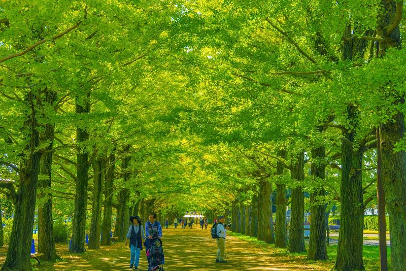 昭和記念公園 かたらいのイチョウ並木 写真1