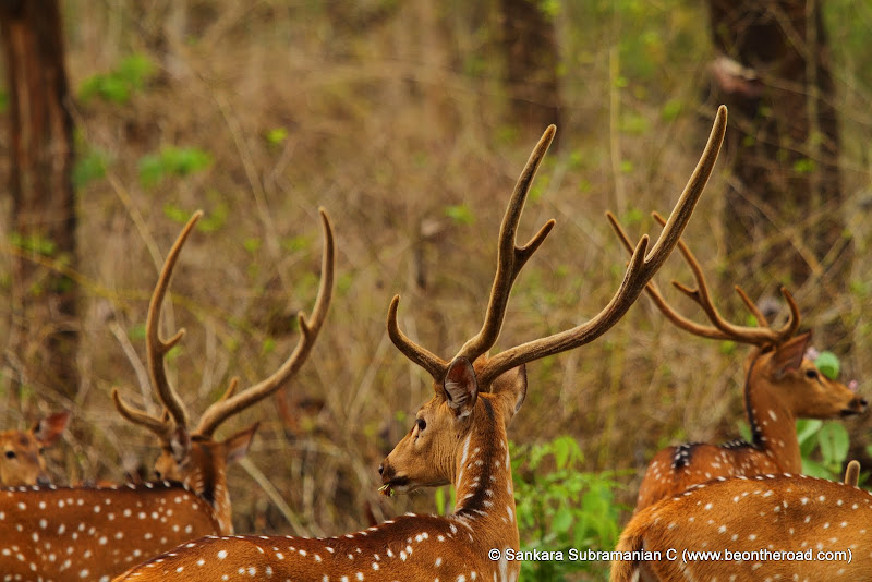 The proud antlers of spotted deer