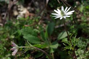 Ten-petal Anemone