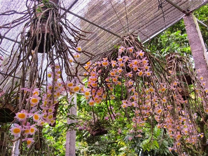 Long tu Lào là giống hoa lan dễ trồng, dễ chăm sóc phù hợp với khí hậu Việt Nam