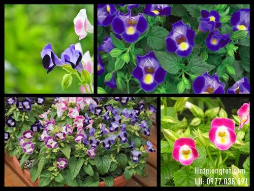Hạt giống hoa tô liên