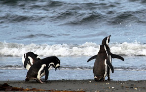Penguins in Chilean Patagonia