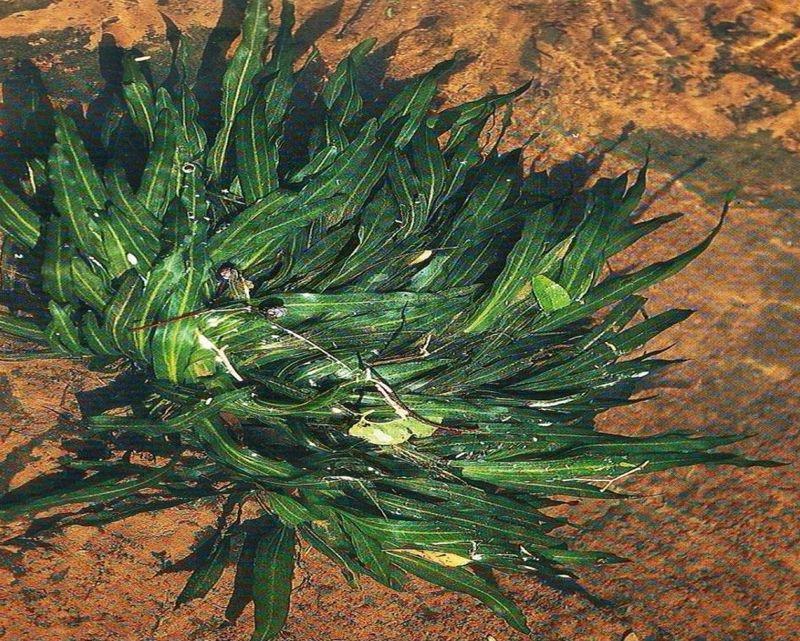 Эхинодорус уругвайский карликовый (Echinodorus uruguayensis var. minor)