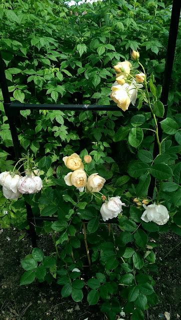 Các khóm hoa hồng leo Wollerton Old Hall Rose khi trồng khoảng 6-9 tháng