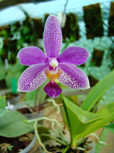 Phalaenopsis Equalacea DSC01571