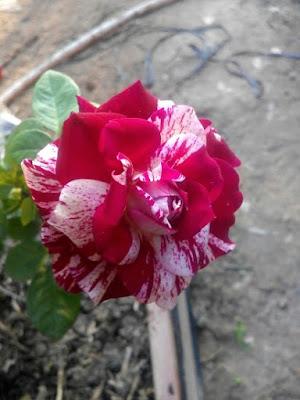 Ảnh thực tế hoa Hoa hồng ngoại Julio rose