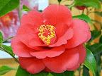 濃紅色 八重 抱え咲き 筒しべ 中輪
