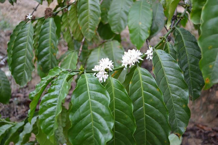 Далат, плантации кофе