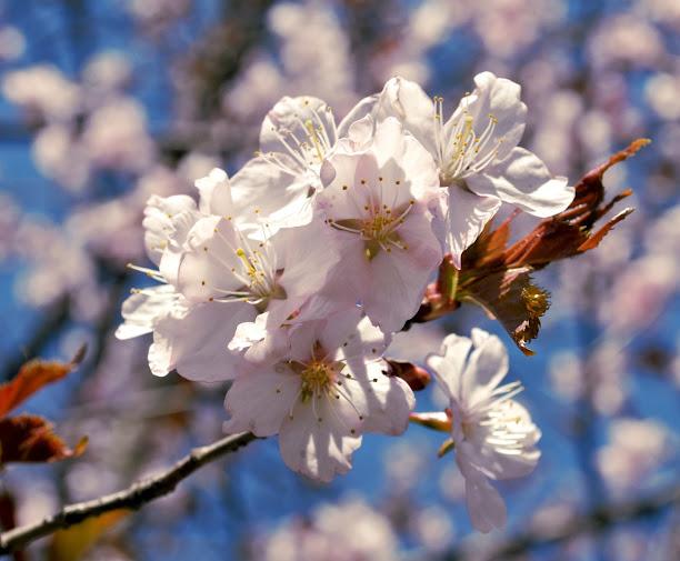 фото Цветение сакуры 2014 в Москве / photo Cherry Blossom Watching 2014 in Moscow