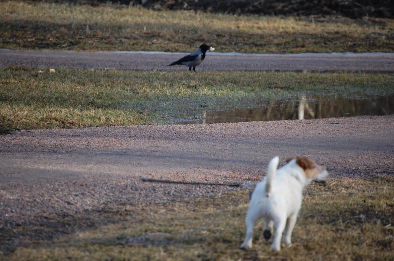 Koira ja Varis