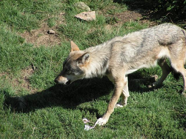 Les Loups de Chabrière PICT0503