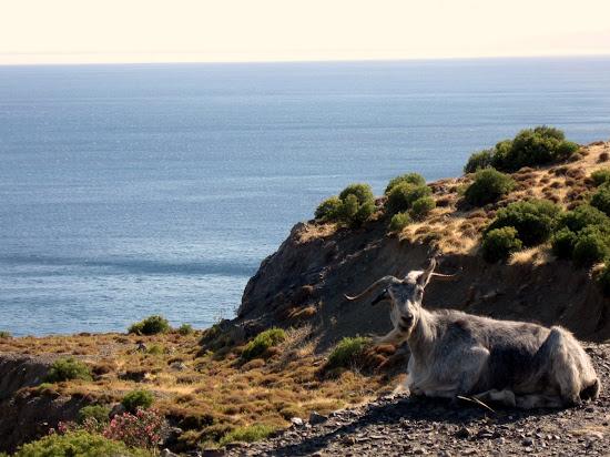 grecka koza