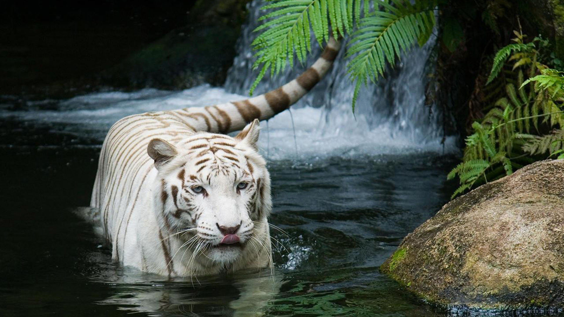 White Tiger Beautiful Wide