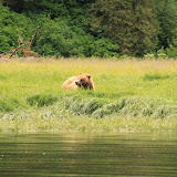 Bear in the Grass on Admirality Island.