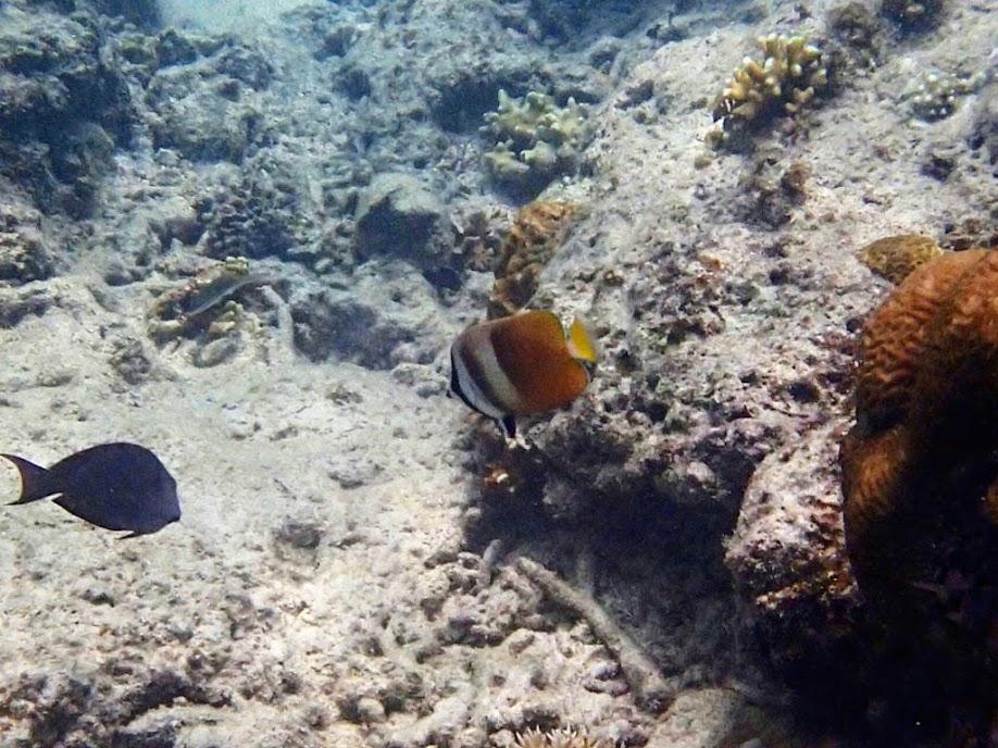 Chaetodon kleinii (Blacklip Butterflyfish), Entatula Island Beach Club reef, Palawan, Philippines.