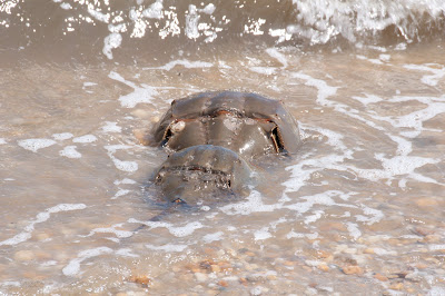 breeding pair of Horseshoe Crabs