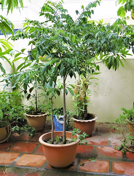 cambodia forums  view topic  potted star fruit tree, sold, Beautiful flower