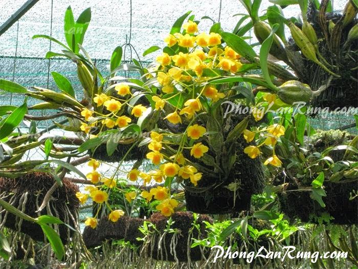hoa Hoàng Lạp