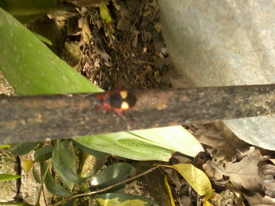 Identificacion de escarabajo EscarabajoRojo+%284%29