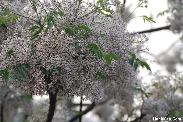thơ sắc tím hoa xoan