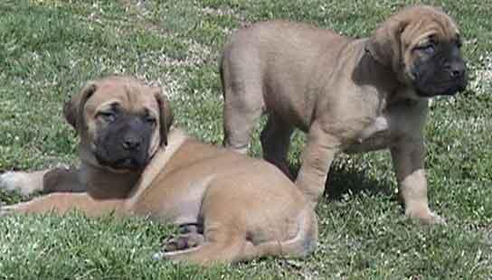 mastiff_puppies-12888.jpg