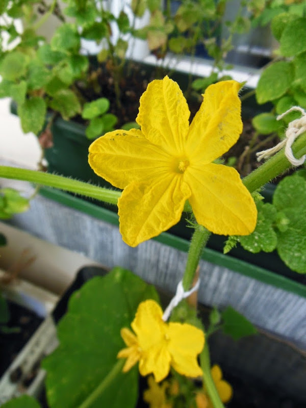 Pickles Plant Male Flower