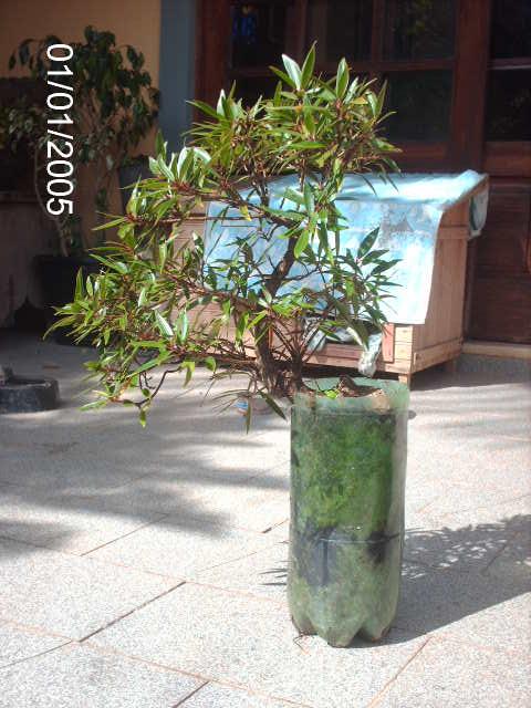 Ficus Nerifolia, Uma raiz de 3 anos... PICT0742