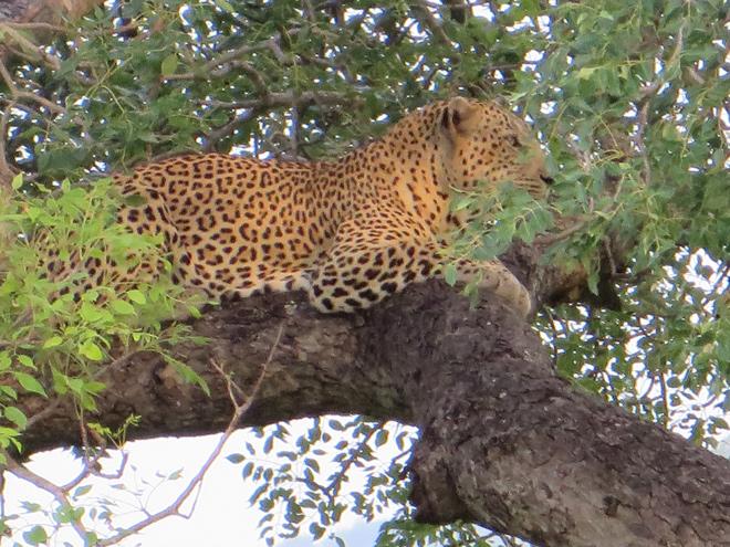 rustende luipaard op boomtak