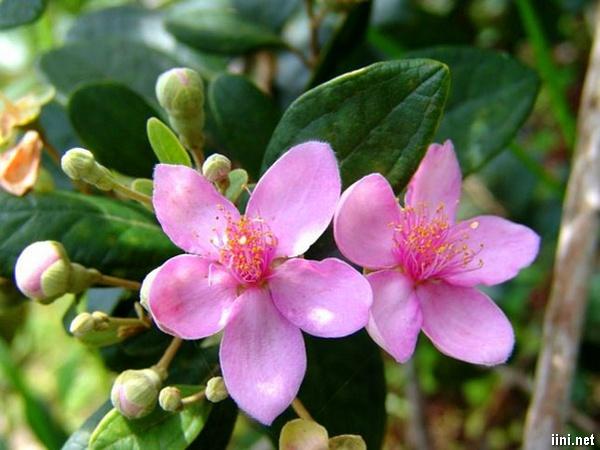 tình thơ hoa sim tím