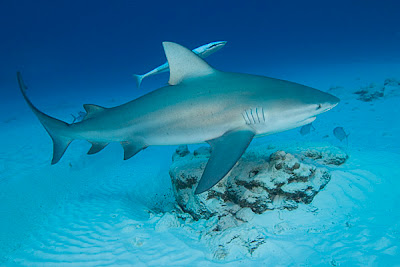 Bull Shark - Island Ecology 2011