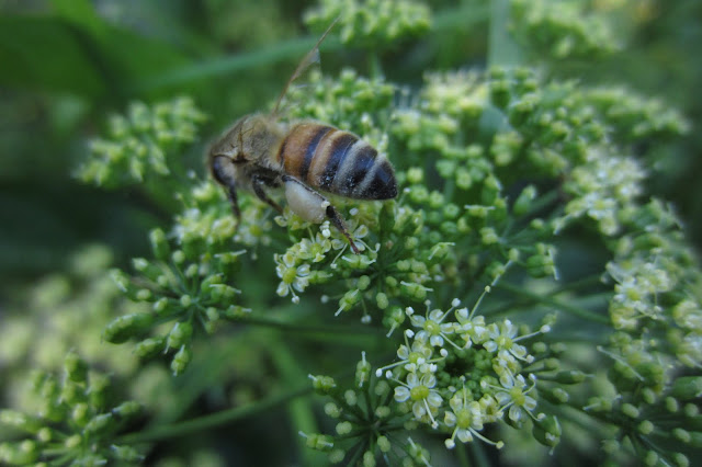bee on parsley happy