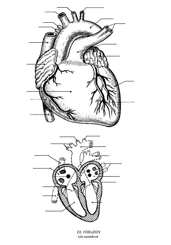Pinto Dibujos: Partes del Corazón sin nombres para colorear
