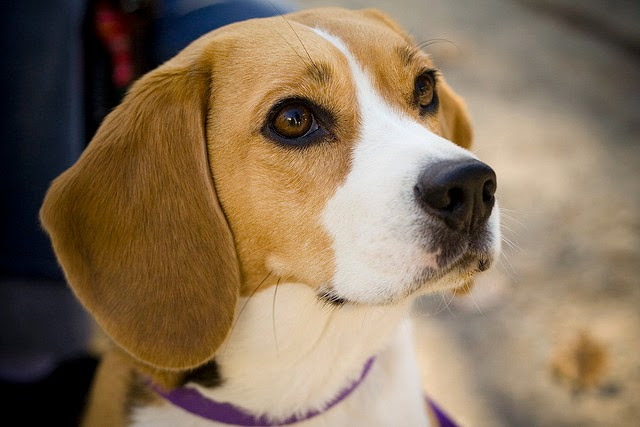 Beagle top 10 breeds of dogs good with children