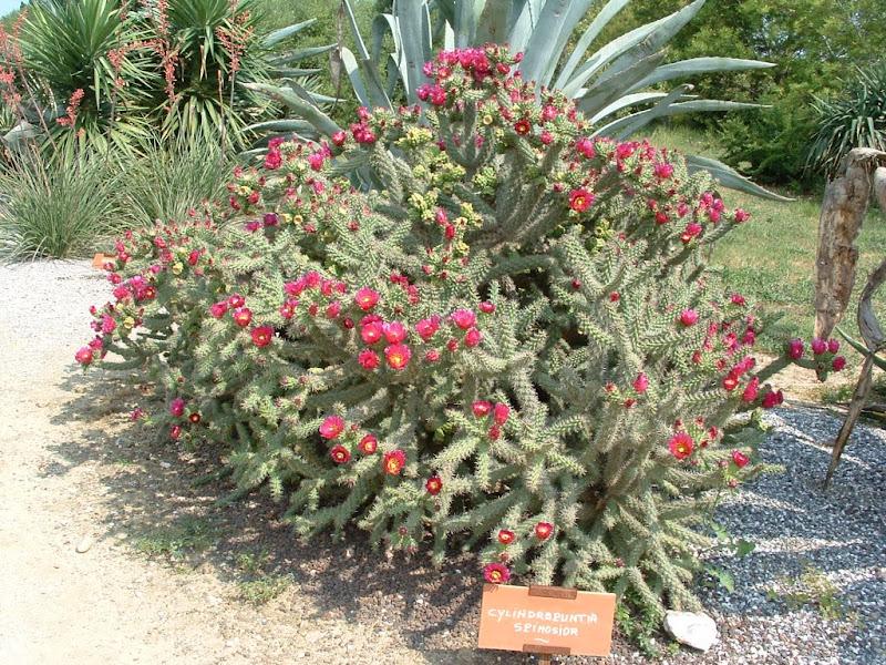 Cactées au jardin exotique de Ponteilla. dans Fleurs et plantes