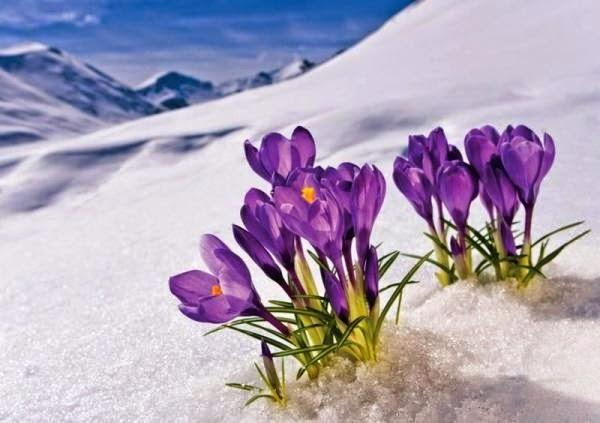hoa xuyên tuyết dưới ánh nắng mùa đông