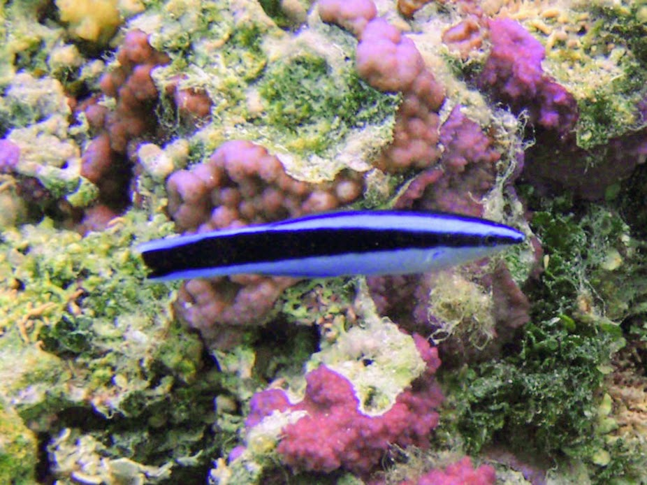 Labroides dimidiatus (Bluestreak Cleaner Wrasse), Aitutaki.