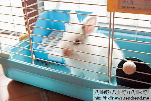 莊思明閒時除咗放狗之外仲會放兔,「兔仔三歲了,我間中會放佢出來走嚇,不過放之前啲狗仔要入曬廚房先得。」